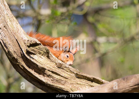 Detailed close-up front view of sleepy, British red squirrel (Sciurus vulgaris) isolated in outdoor UK woodland, chilling out in sun perched on branch. - Stock Image