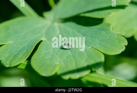 Dew-drop om a greater celandine leaf - Stock Image