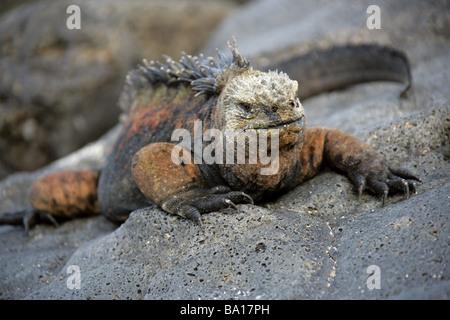Marine Iguana, Amblyrhynchus cristatus, Iguanidae, San Cristobal Island, Galapagos Archipelago, Ecuador, South America - Stock Image