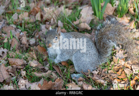 Grey Squirrel among autumn leaves Sciurus carolinesis - Stock Image