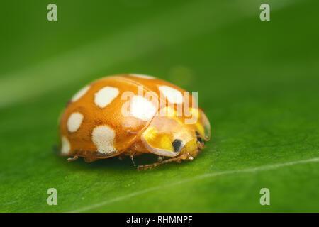 Overwintering Orange Ladybird (Halyzia sedecimguttata) resting on Hart's Tongue fern. Tipperary, Ireland - Stock Image