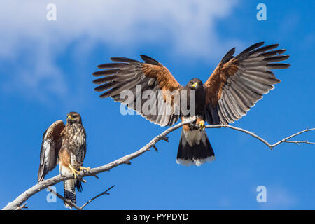 Two Harris Hawks (Parabuteo unicinctus), one immature  and one adult, perched on a tree branch with wings spread against a blue sky in the Sonoran Des - Stock Image