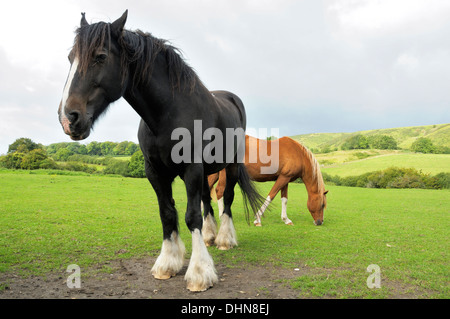 Two horses in a field in the countryside of Dorset - Stock Image
