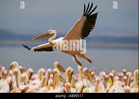 White Pelican Pelecanus onocrotalus Flying and coming into land amoungst flock Lake Nakuru Park Kenya - Stock Image