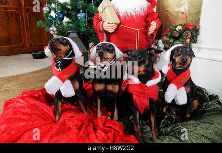 Merry christmas wishes from miniture pinschers - Stock Image
