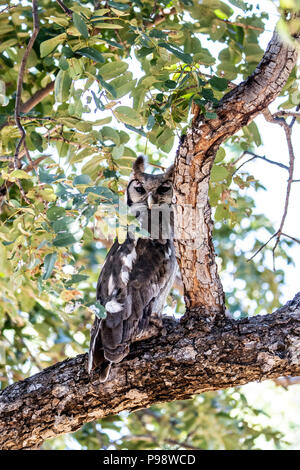 Verreauxs Eagle Owl, perched on a branch, Chobe National Park, Botswana - Stock Image