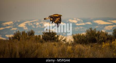 Hawk in flight - Stock Image