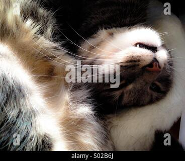 Tabby cat curled up napping - Stock Image