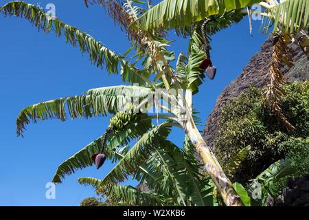 Portugal, Madeira Island, Faja dos Padres, banana tree plantation - Stock Image