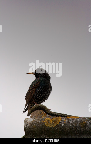 Starling on roof - Stock Image