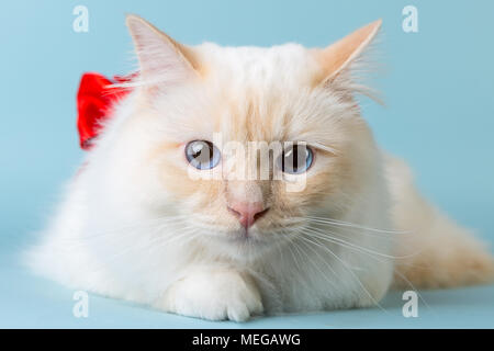 birman male cat portrait on blue background looking at camera - Stock Image