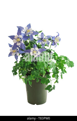 Potted Columbine, Aquilegia, member of the Ranunculaceae family, isolated over a white background with clipping path included. Perennial garden plant. - Stock Image