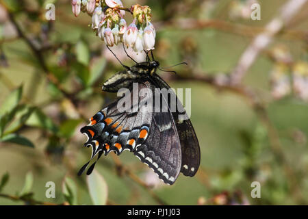 A tiger swallowtail dark abberation. - Stock Image