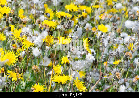 Perennial Sow-thistle (sonchus arvensis), an abstract shot of the flowers and seedheads. - Stock Image