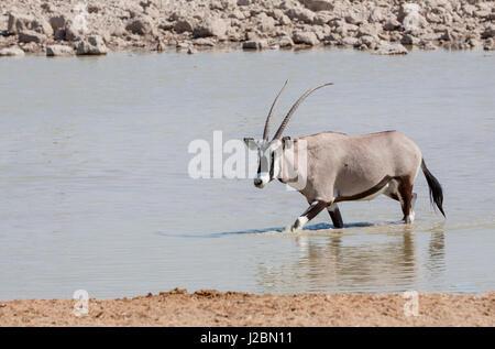 Africa, Namibia, Etosha National Park. Oryx wading in waterhole. Credit as: Wendy Kaveney / Jaynes Gallery / DanitaDelimont.com - Stock Image