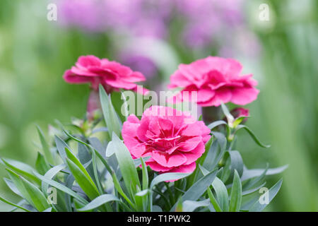 Dianthus flowers in Spring. - Stock Image