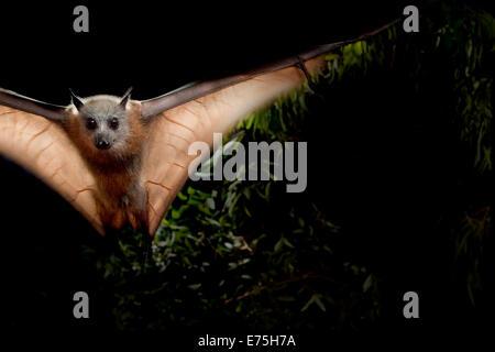 Grey-headed flying fox, Australia - Stock Image