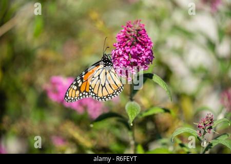 Monarch butterfly, Danaus plexippus, feeding on Butterfly bush flowers, Buddleja davidii or Buddleie during southern migration in October. Kansas, USA - Stock Image