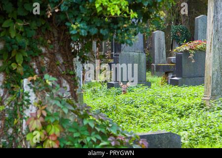 Red deer at graveyard - Stock Image