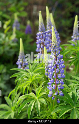 Lupinus- Lupin - June - Stock Image