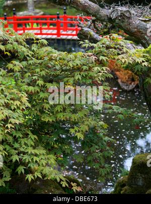 Japanese Maple Tree and Red Bridge, The Japanese Garden, Cottered, Hertfordshire. - Stock Image
