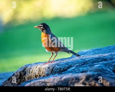 American robin,Turdus migratorius is a migratory songbird of the true thrush genus and Turdidae, - Stock Image