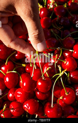 closeup of a young caucasian man picking some freshly collected cherries from a crate - Stock Image