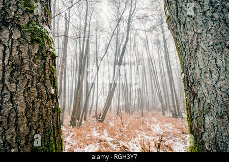 Misty forest behind two large trees with mossy rind in the winter - Stock Image
