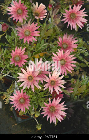 Close up of a potted Arctotis 'Wine' African Daisy ready for planting - Stock Image