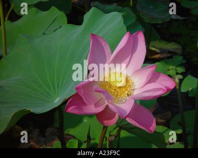 Pink Lotus flower Nelumbo nucifera sacred lotus on water with leaves Thailand - Stock Image