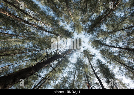 view from below of a pine forest on bright daylight. concept of nature scenery and background - Stock Image