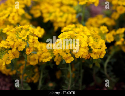 Alyssum wulfenianum close up of flowers - Stock Image