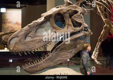 Head of Tyrannosaurus rex in display. The Field Museum, Chicago, Illinois, USA. - Stock Image