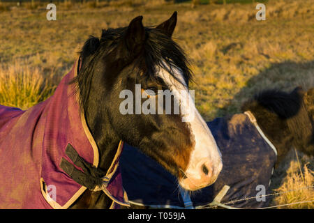 A horse in a field near Scarfskerry, Caithness, Scotland, UK - Stock Image