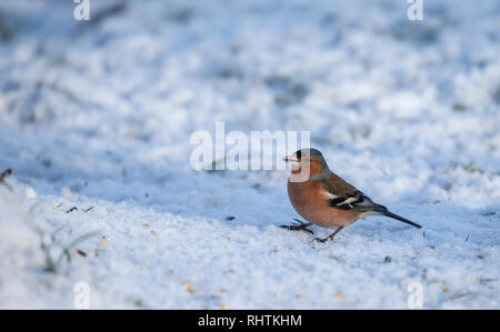 Male Chaffinch, Fringilla coelebs, standing in snow on which some bird seed has beens sprinkled. - Stock Image
