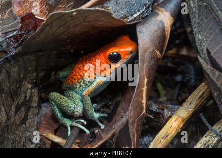 Granular poison frog (Oophaga granulifera) Osa Peninsula, Costa Rica. Vulnerable IUCN Red List species. - Stock Image