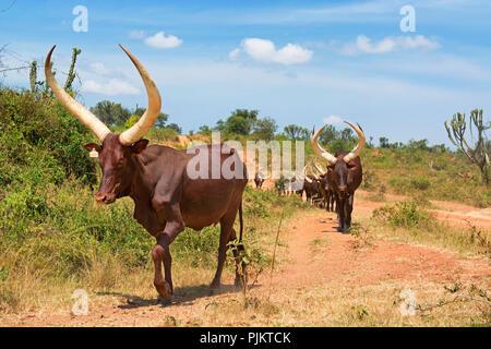 Ankole Cattle Cows, Ankole region, Uganda, East Africa - Stock Image