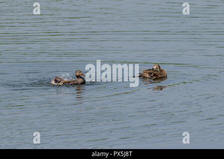 Two Gadwall ducks washing on a still calm lake - Stock Image