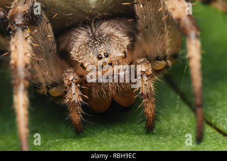 Close up of the face of a Four-spotted Orb Weaver spider (Araneus quadratus) resting on a leaf. Tipperary, Ireland - Stock Image