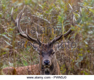 A red deer stag peers out from a clump of ferns, grasses and bracken. - Stock Image
