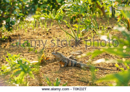Black Spiny Tailed Iguana from Central America - Stock Image