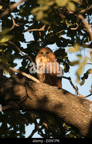 Pel's Fishing Owl roosting in tree, Moremi Camp, Dead Tree Island, Okavango Delta (Scotopelia peli) - Stock Image