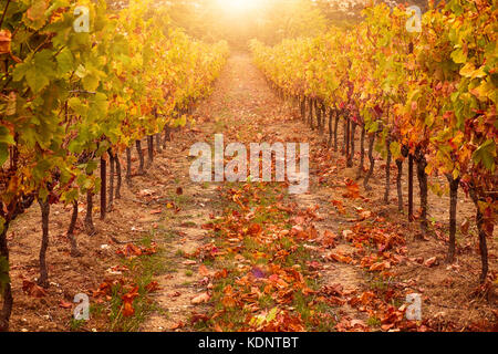 Sunrise lighting two symmetrical rows of grapevines in a vineyard in France in autumn. - Stock Image