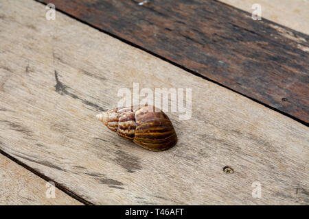 The shell of Achatina fulica, the African Giant Snail, on a green leaf, on a wooden floor, top view, lots of space for copy - Stock Image