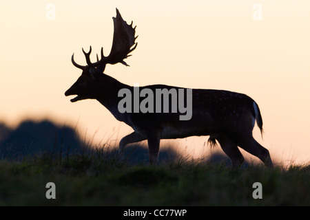 Fallow Deer (Dama dama), Buck Roaring, on Horizon at Dusk, during the Rut, Royal Deer Park, Klampenborg, Seeland, - Stock Image
