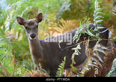 Kent, UK. 5th October 2018. Autumn colours and wild deer at Knole in Kent Credit: Thomas Faull/Alamy Live News Credit: Thomas Faull/Alamy Live News - Stock Image