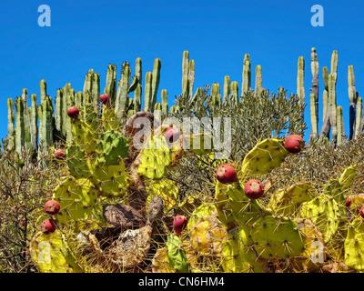 Cactus in Tenerife Desert - Stock Image