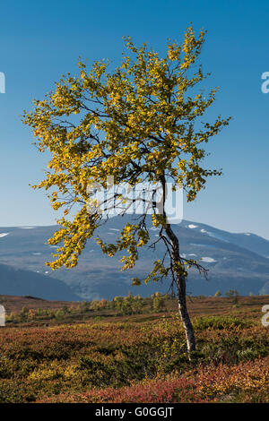 Yellow leaves of birch tree in autumn in mountain landscape, Kungsleden trail, Lapland, Sweden - Stock Image
