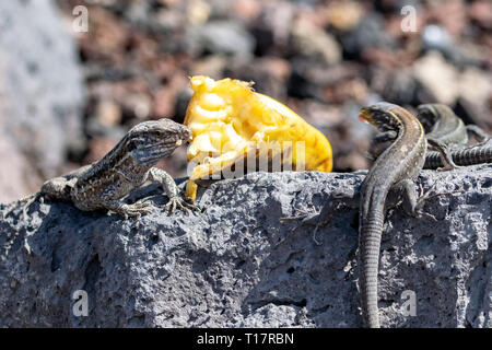 La Palma wall lizard (Gallotia galloti palmae) eats a piece of banana - Stock Image