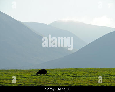 Lake District, UK. 25th July, 2017. A Herdwick sheep grazes in front of receding hils in evening light in the quintessentially English Lake District Credit: Steve Holroyd/Alamy Live News - Stock Image